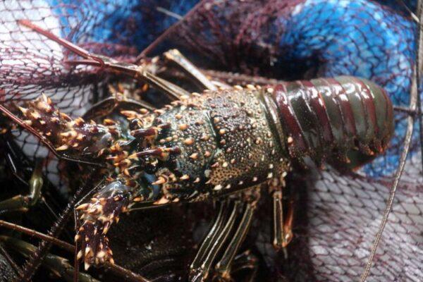 lobster pangandaran jenis batu